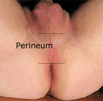 male perineum