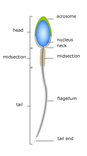 sperm diagram