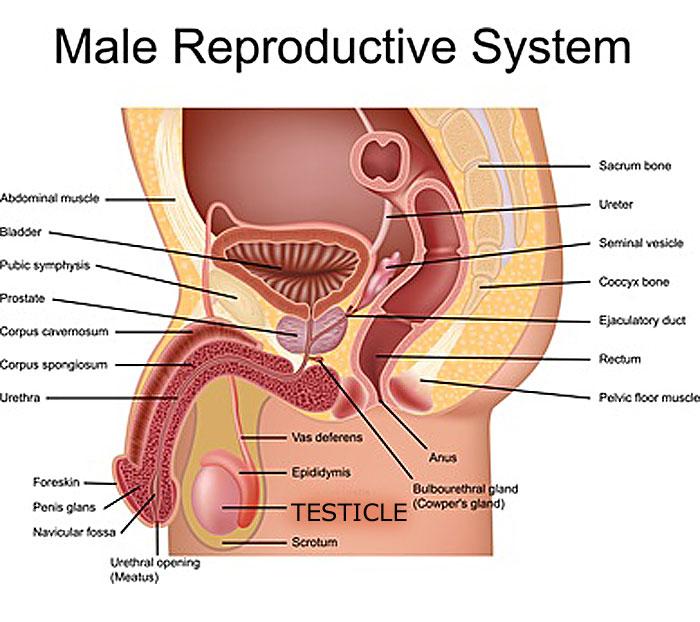 testiculr exam diagram for location