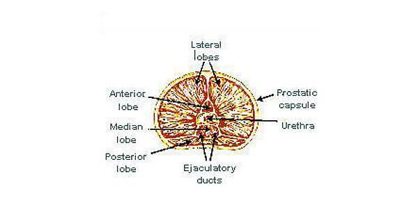 prostate anatomy diagram